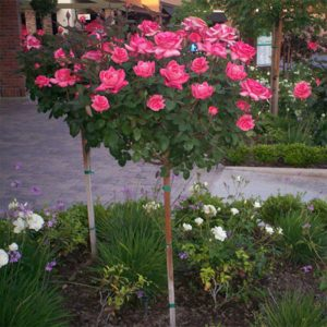 best rose tree