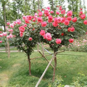 best rose tree buy online