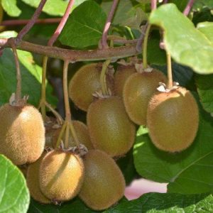 kiwi fruits online