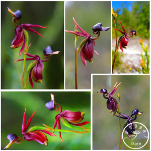 large duck orchid flowers