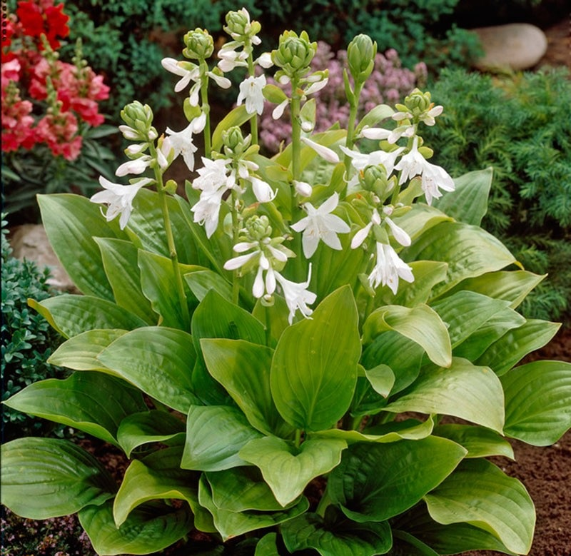hosta whirlwind for sale