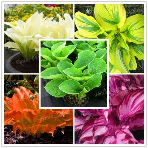 hosta planet for sale